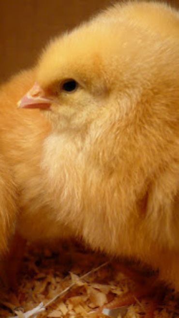 I'll be the chunchy chicken mama