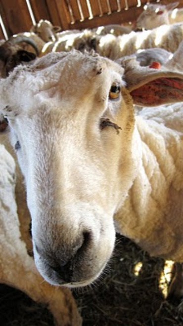 Lambing Unexpected.