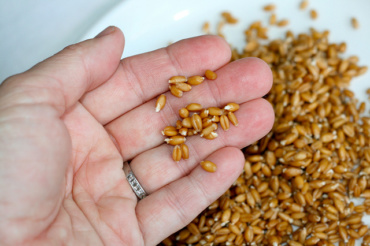 LEARNING: How to Soak and Sprout Grains